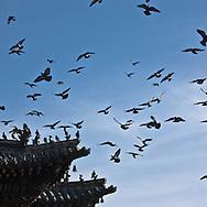 Mongolia. pigeons flying over Gandan Buddhist the bigest  Monastery  in Ulaan baatar