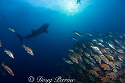whale shark, Rhincodon typus, circles a spawning aggregation of dog snappers, Lutjanus jocu, just before sunset, waiting to filter feed on the eggs after the snappers spawn; Gladden Spit, Belize, Central America ( Caribbean Sea )
