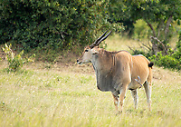 A Red-billed Oxpecker, Buphagus erythrorhynchus, lands on the side of an East African Eland, Taurotragus oryx pattersonianus, in Maasai Mara National Reserve, Kenya