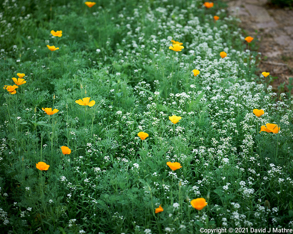 California Poppy and Sweet Alyssum. Image taken with a Leica SL2 camera and 24-90 mm lens.