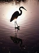 Great egret, Casmerodius albus, silhouetted at daybreak, Mrazek Pond, Everglades National Park, Florida.
