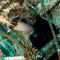 Pacific Trumpetfish Entering Hold, Carthaginian, Maui Hawaii