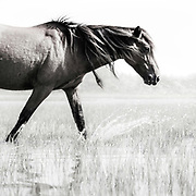 """""""Thirst was made for water; inquiry for truth"""" ~ C.S. Lewis<br /> <br /> Tracie Spence's fine art photography series of The Spanish Wild Mustangs."""