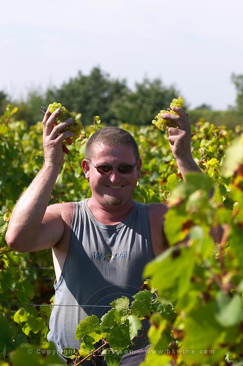 Harvest workers picking grapes, chenin blanc. Chateau de Passavant, Anjou, Loire, France