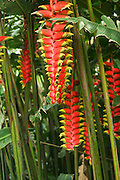 Tanzania, Red and yellow hanging Lobster claw flower (Heliconia Rostrata) April 2006