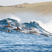 Group of bottlenose dolphins (Tursiops aduncus) riding a swell together, waiting for the right wave to surf.