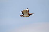 Great Bustard - Otis tarda - male in flight