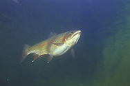 Steelhead Trout, Lake Superior at Wolf River, WI<br /> <br /> Roger Peterson/ENGBRETSON UNDERWATER PHOTO
