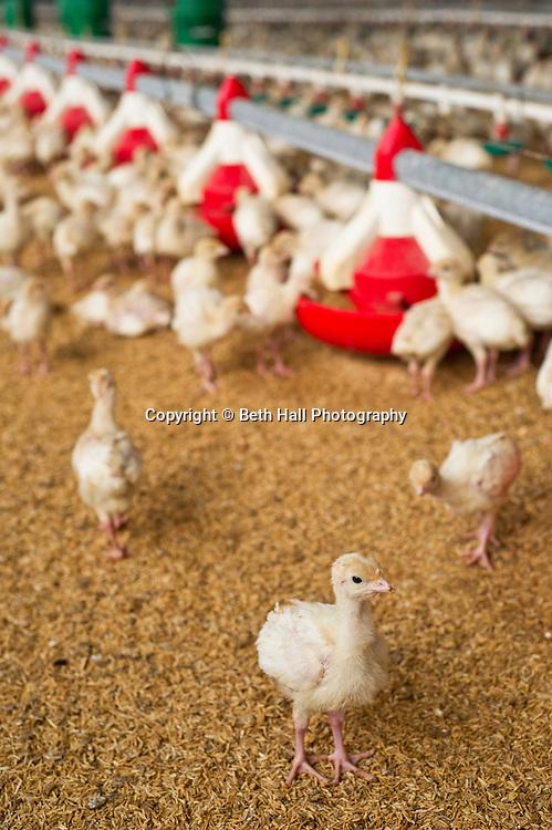 Baby turkeys in a house in Scranton, Arkansas.