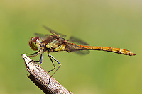 Common Darter, Sympetrum striolatum, perched on stick, Wirral, July