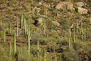 Saguaro cactus on a hillside in Saguaro National Park, Arizona