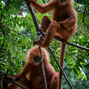 Maroon Leaf Monkey (Presbytis rubicunda) is endemic to Borneo where it is found in lowland rainforests throughout most of the island.