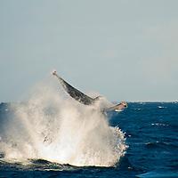 Humpback Whale tail shot, Megaptera novaeangliae, Maui Hawaii
