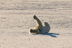 Polar bear (Ursus maritimus) in March, Hornsund, Spitsbergen, Svalbard, Norway