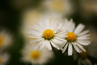 Perfect Spring Daisies.