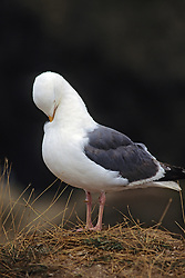 Glaucous Gull Pruning
