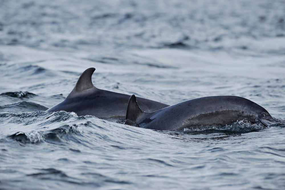 Sequence of adult Bottle-nosed Dolphins patrolling rip-current,<br /> Tursiops truncatus,<br /> Moray Firth, Nr Inverness, Scotland - June