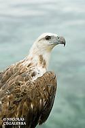 Pygargue blagre , Haliaeetus leucogaster, White-bellied Sea Eagle, Iles Banggai, Indonésie