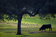 "Spanish fighting bull, ""Toro de Lidia"" or ""Toro Bravo"", close relative to the aurochs, in Dehesa mosaic woodland, Parque Natural Sierra de Andujar, Andalucia, Spain"