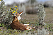 Ein Äthiopischer Wolf (Canis simensis) des BBC-Rudel auf dem Sanetti Plateau im Bale Mountains Nationalpark im Süden von Äthiopien