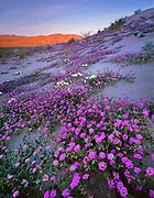 Desert Sand Verbena and Coyote Mountain, Anza-Borrego Desert State Park, California