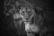 Lioness stare, both intimidating and strikingly hypnotic.