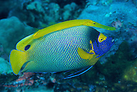 """A yellow trumpetfish is using a Yellow-masked Angelfish as a """"stalking horse"""" to approach small fish unnoticed.  The Angelfish is a sponge eater that is ignored by small fish."""