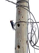 A male Acorn Woodpecker (Melanerpes formicivorus) outside a nesting hole excavated in a telegraph pole. Panajachel, Republic of Guatemala 03Mar14
