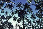 Coconut trees, Hawaii<br />
