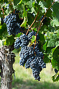 Bunches of ripe Merlot grapes on ancient vine in vineyard in St Emilion region of Bordeaux, France