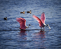 Pair of Roseate Spoonbills. Black Point Wildlife Drive, Merritt Island National Wildlife Refuge. Image taken with a Nikon Df camera and 300 mm f/4 lens (ISO 100, 300 mm, f/4, 1/2000 sec).