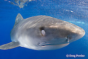 tiger shark, Galeocerdo cuvier, with eye covered and protected by nictitating membrane, North Shore, Oahu, Hawaii, USA ( Central Pacific Ocean )