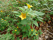 Ilima flower, Lyon Arboretum, Manoa Vally, Honolulu, Hawaii