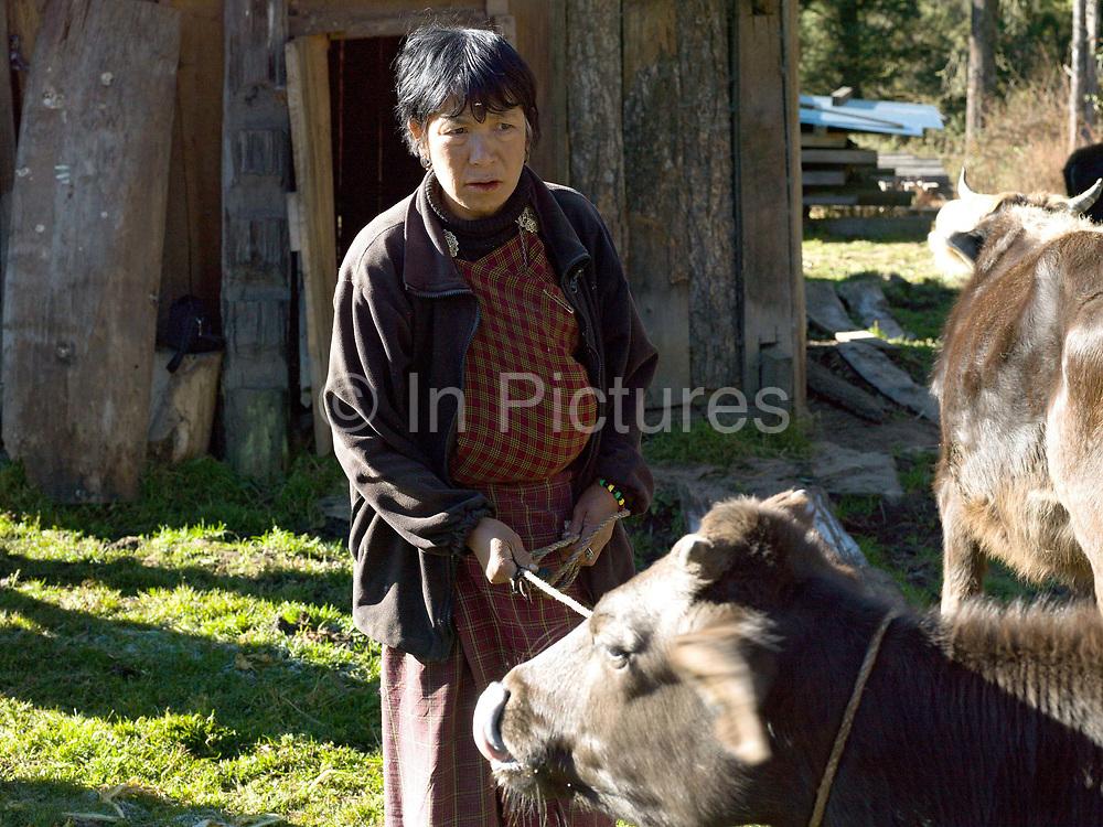 Bhutanese farmer, Namgay Zam holds a cow while it is being milked, Chubja, Bhutan.