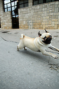 Pug dog running, looking into camera. Trogir, Croatia