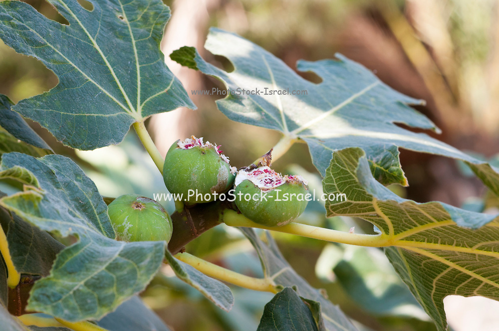 Close up of the fruit and leaves of a fig tree Ficus carica. The fruit has been partially eaten and damaged by birds