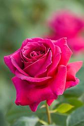 Rosa 'Big Purple'