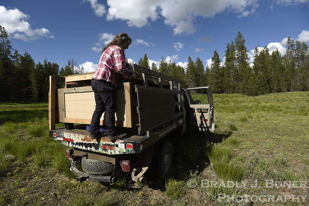 Release of rehabilitated black bear at Squirrel Meadows on Ashton-Flagg Ranch Road