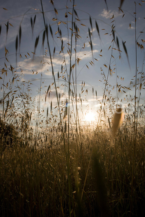 Setting sun and long grasses late on a summer's day in Langlade, Charente-Maritime, France. The fresh air and light of summer sunlight comes through the tall and delicate grass stems, a golden light that shows a healthy field and countryside.