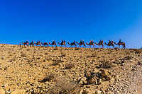Camel safari in the Negev Desert at Chan Hashayarot, Israel.