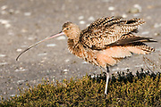 Long-billed Curlew with ruffled feathers (Numenius americanus) Back Bay Reserve, California