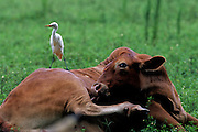 Cattle Egret resting on cow that is licking it self clean in pasture - Mississippi