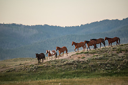 Bryan Ulring gathers horses at the J Bar L ranch, a unique, conservation-friendly ranch nestled into the wide open land of the Centennial Valley in southern Montana. The ranch finishes their cattle on grass, in contrast to the vast majority of ranches in the U.S. that send cattle to feedlots.   The Centennial Valley is an important wildlife corridor for elk, moose, antelope, deer, wolverines, grizzly bears, wolves and hundreds of bird species. The valley is largely owned by a handful of large ranches, which means their use of the land impacts the local environment. © Ami Vitale
