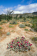 Beavertail Cactus and Ocotillo in bloom at Desert Garden, Anza-Borrego Desert State Park, California.