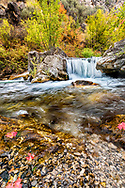 Floating Maple Leaves in an Idaho Stream.<br />