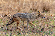 Golden jackal (Canis aureus) from Pench National Park, Madhya Pradesh, India.