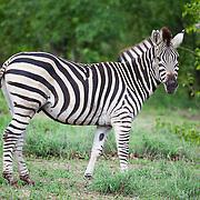 Zebra. Skukuza section of Kruger National Park. South Africa. Organization for Tropical Studies Trip 2009.