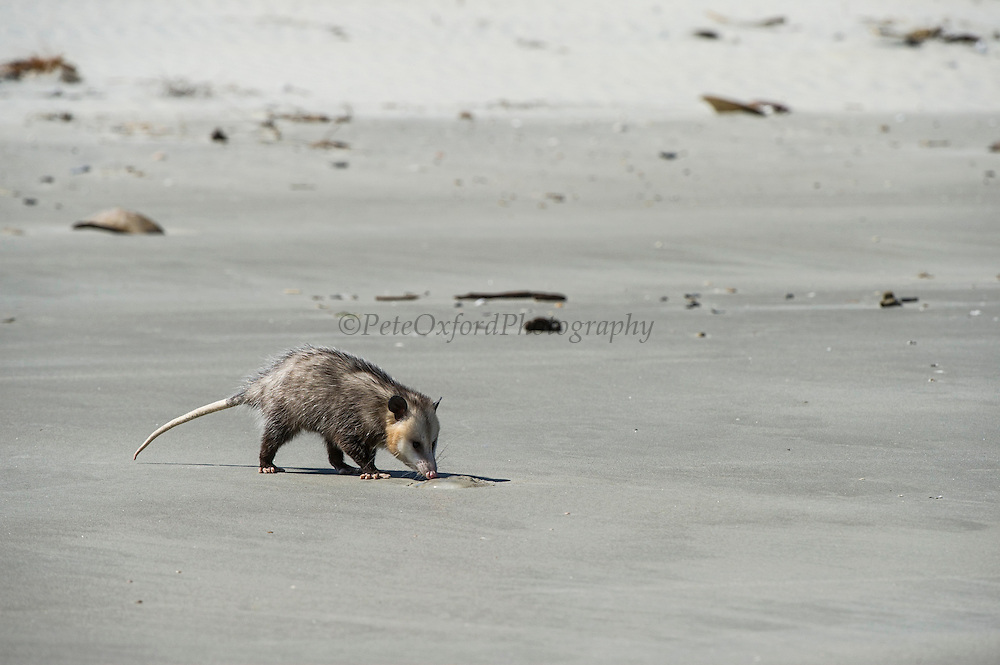 Virginia opossum (Didelphis virginiana) on beach feeding on jellyfish<br /> Little St Simon's Island, Barrier Islands, Georgia<br /> USA