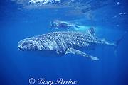 snorkelers and whale shark, Rhincodon typus, Endangered Species, off Ningaloo Reef, Western Australia ( Indian Ocean )