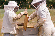 Honey bees take what they need from nature, without destroying or killing anything except in defence, and in return they pollinate our crops.